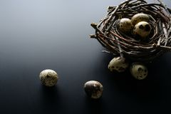 Quail eggs in nest of twigs on a black background. Easter background. Quail eggs in nest of twigs on a black background Stock Photos