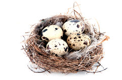 Quail eggs in nest  on white Stock Image