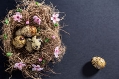 Quail eggs in nest with white spring flowers and buds Royalty Free Stock Photos