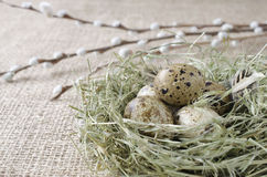 Quail eggs in the nest with willow branch, close up Royalty Free Stock Images