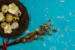 Quail eggs in nest with willow twigs on blue background.  stock photo