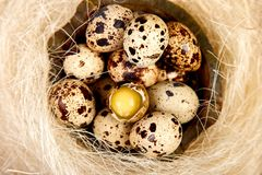 Quail eggs in the nest on wooden background with willow branch royalty free stock photo