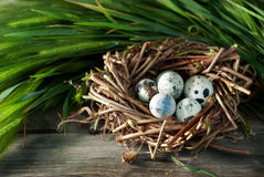 Quail eggs in the nest. Quail eggs in a nest on the wooden table Royalty Free Stock Photos