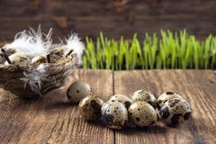Quail eggs in a nest on a wooden table stock photo