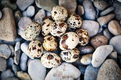 Quail eggs on the pebbles Stock Image