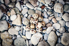 Quail eggs and pebbles Royalty Free Stock Image
