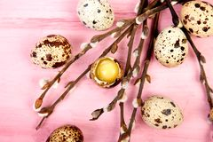 Quail eggs on pink background with willow branch. Happy easter. Top view. Free space. Flat lay. Spring. Easter egg stock photo