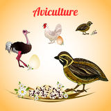 Quail with eggs. Poultry and aviculture. Vector illustration Royalty Free Stock Photo