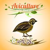 Quail with eggs. Poultry and aviculture. Vector illustration Royalty Free Stock Images