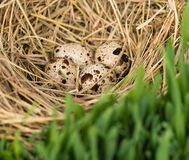 Quail eggs. The spotty quails eggs in the straw nest over green grass Stock Image