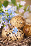 Quail eggs and spring flowers Stock Photo