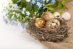 Quail eggs and spring flowers Stock Images