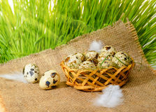 Quail eggs with straw and feathers in basket on burlap and sprin Stock Image