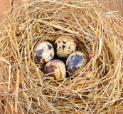 Quail eggs in a straw nest Stock Image