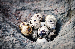 Quail eggs on the surface stone Stock Image
