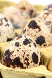 Quail eggs in a tray close up. Quail eggs in a tray closeup Royalty Free Stock Images