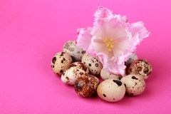 Quail eggs with tulip. Lovely pink tulip with some quail eggs on pink background on Holiday and Religion theme as an Easter Stock Image