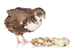 Quail with eggs on a white. Background stock images