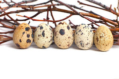 Quail eggs are  on a white background. Group of quail eggs on branches Royalty Free Stock Photos