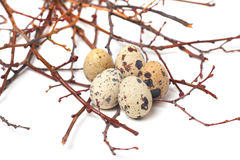 Quail eggs are  on a white background. Group of quail eggs on branches Stock Photography