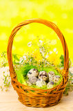 Quail eggs in the wicker basket for Easter Stock Photography