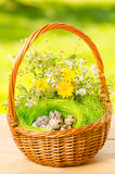 Quail eggs in the wicker basket for Easter Royalty Free Stock Photo