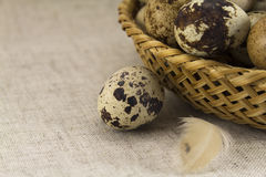 Quail eggs in a wicker oval shape Stock Image
