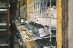 On quail farm birds in cages Royalty Free Stock Photography