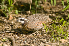 A Quail feeding on seeds. A Northern Bobwhite Quail feeding on seeds thrown into a field Royalty Free Stock Photography