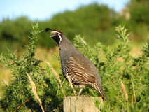 Quail on fence post. This photo of a quail was taken in Coromandel, New Zealand Stock Photo