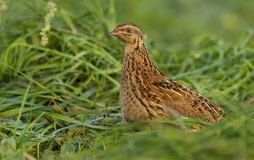 Quail in the field. Quail sitting in the field Royalty Free Stock Photo