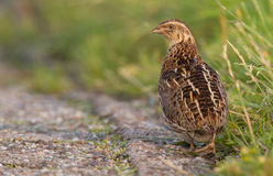 Quail in the field Stock Photos