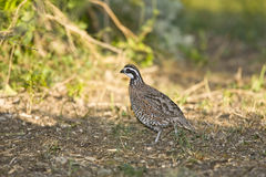 A Quail foraging in a field. A Northern Bobwhite Quail foraging in a field for seeds Royalty Free Stock Photos