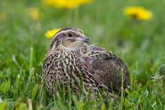 Quail in free range Royalty Free Stock Images