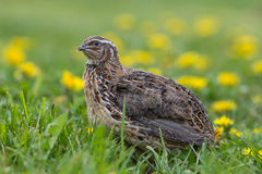 Quail in free range Royalty Free Stock Photo