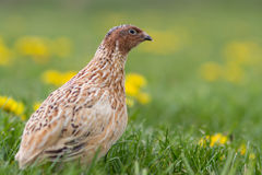 Quail in free range Royalty Free Stock Photography