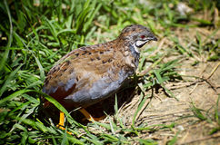 Quail in Grass Royalty Free Stock Photos