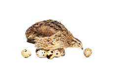 Quail hatches eggs Stock Photos