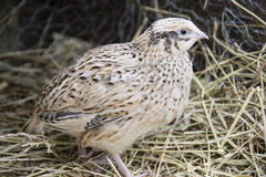 Quail. A quail in his nest Royalty Free Stock Images