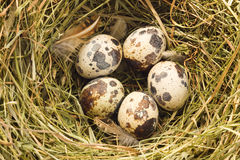 Quail nest. Close up view of the quail nest Royalty Free Stock Photo