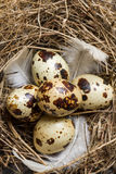 Quail nest with eggs Royalty Free Stock Photo