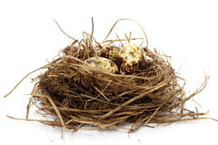 Quail nest with eggs Royalty Free Stock Images