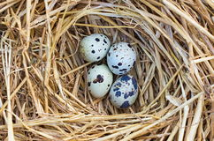 Quail nest. Four quail eggs in a nest of straw Royalty Free Stock Photo