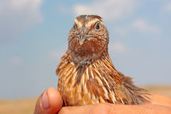 Quail portret Stock Photo
