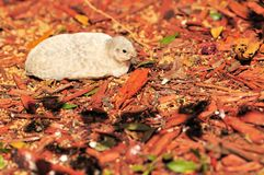 Quail in red wood chips Stock Photo