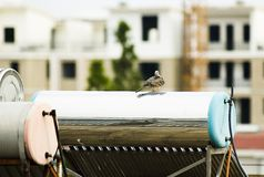 QUAIL ON ROOF Stock Images