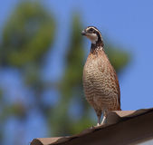 Quail on the roof Royalty Free Stock Images