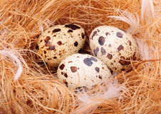 Quail's eggs Stock Image