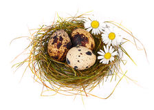 Quail's Eggs and chamomiles in a Easter Nest Royalty Free Stock Photography