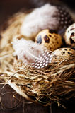 Quail's Eggs and Feathers in a Easter Nest Royalty Free Stock Images